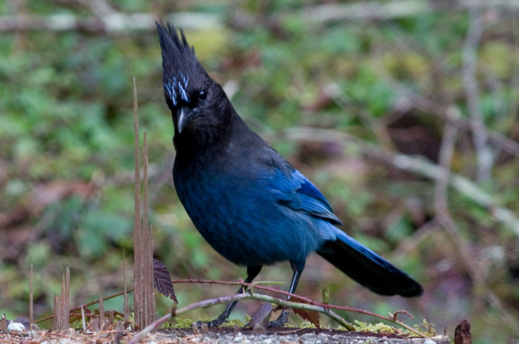 The Steller's' Jay is a common scavanger which lives west of the Rocky Mountains from Alaska to Mexico 3