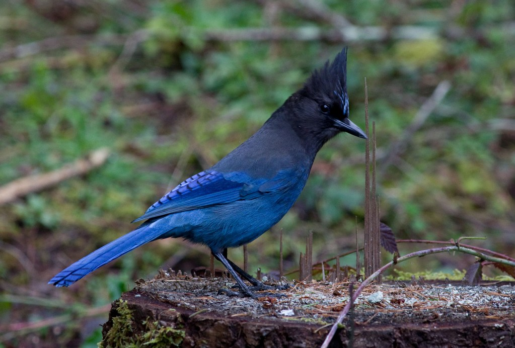 The Steller's' Jay is a common scavanger which lives west of the Rocky Mountains from Alaska to Mexico 4