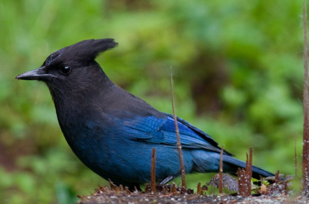 The Steller's' Jay is a common scavanger which lives west of the Rocky Mountains from Alaska to Mexico 6