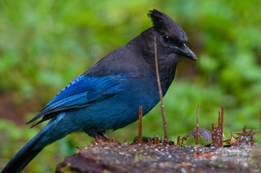 The Steller's Jay is a familiar scavanger which mostly lives west of the Rocky Mountains from Alaska to Mexico.