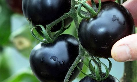 Britain's First Black Tomatoes helps in Fight Cancer