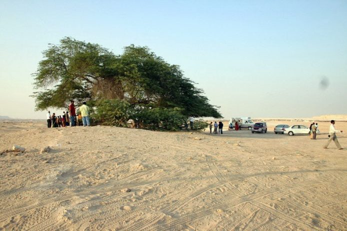 A Miraculous Survival of Tree in the desert of Bahrain 2