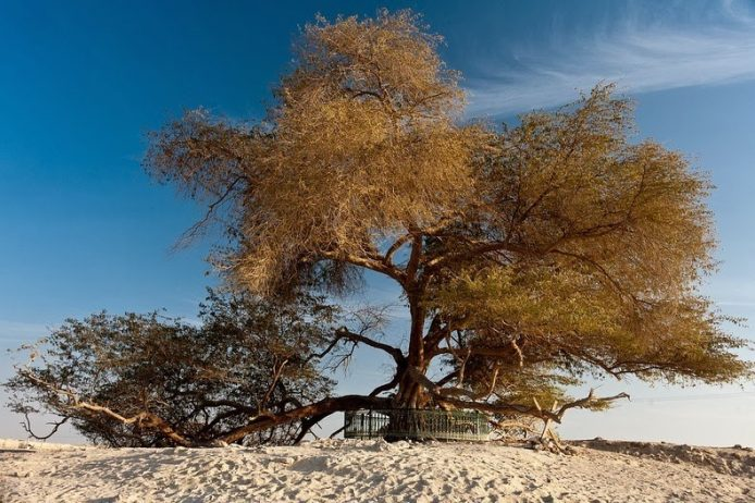 A Miraculous Survival of Tree in the desert of Bahrain 3