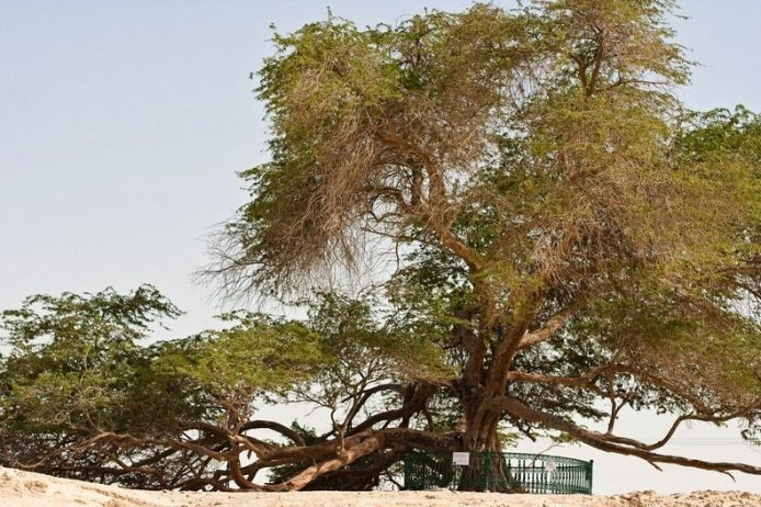 A Miraculous Survival of Tree in the desert of Bahrain 4