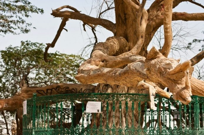 A Miraculous Survival of Tree in the desert of Bahrain 5