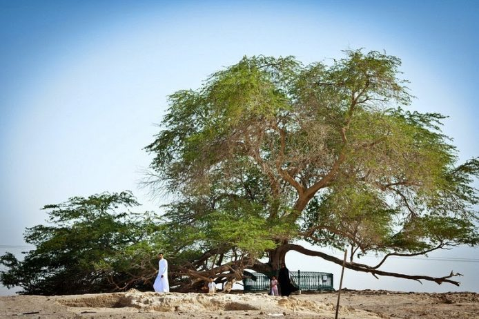 A Miraculous Survival of Tree in the desert of Bahrain 6