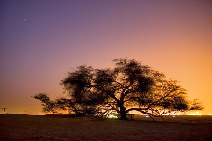 A Miraculous Survival of Tree in the desert of Bahrain 7
