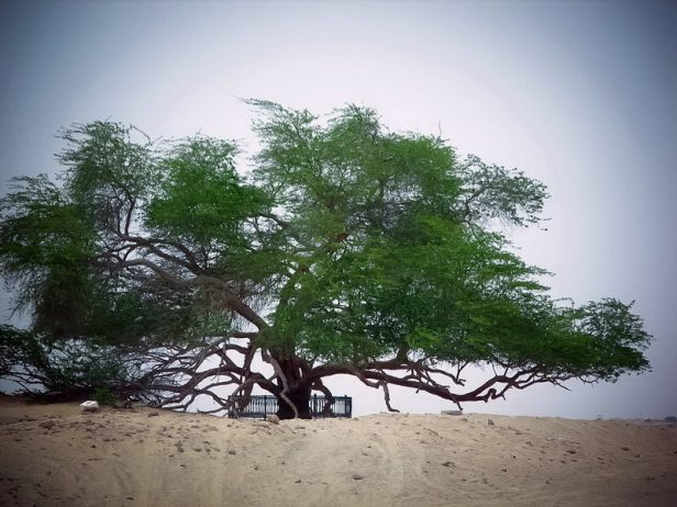 A Miraculous Survival of Tree in the desert of Bahrain 9