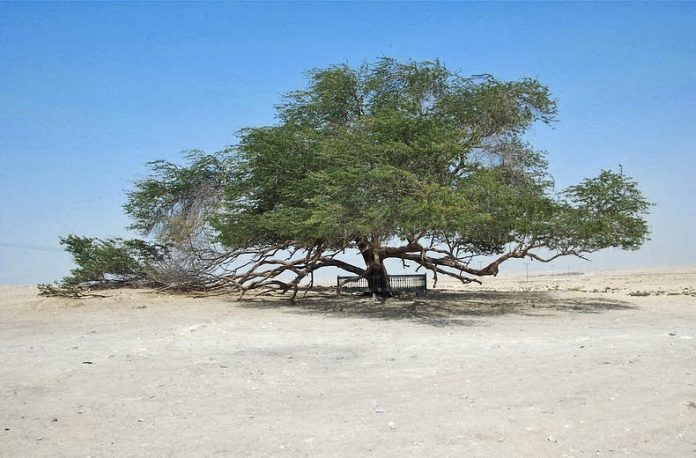 A Miraculous Survival of Tree in the desert of Bahrain