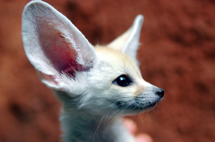 Fennec Fox is the Most Cute Animal in the World 2