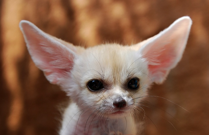 Fennec Fox is the Most Cute Animal in the World 4