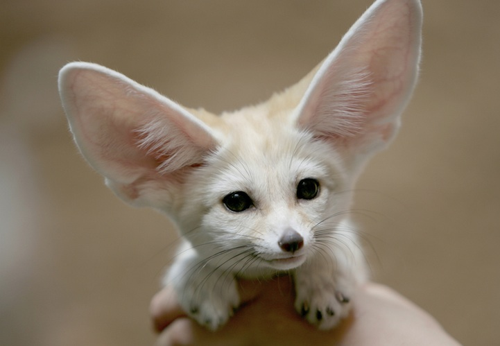 Fennec Fox is the Most Cute Animal in the World 5