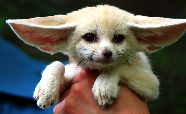 Fennec Fox is the Most Cute Animal in the World 6