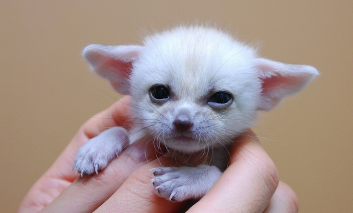 Fennec Fox is the Most Cute Animal in the World 7