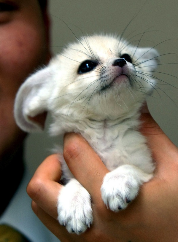 fennec fox is the most cute animal in the world - Biggest House Cat In The World 2013