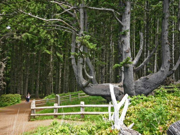 The Octopus Tree of Oregon 6
