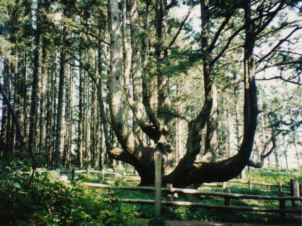 The Octopus Tree of Oregon 7