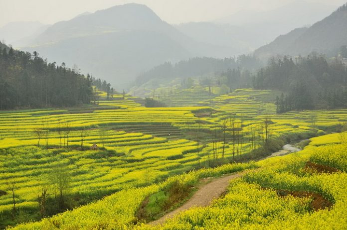 1280px-Canola_field_in_Luoping_resize