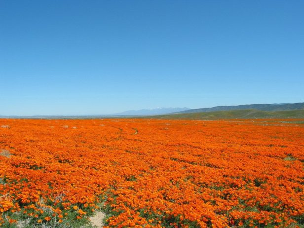 Antelope Valley Poppy Reserve in California16_exposure_resize