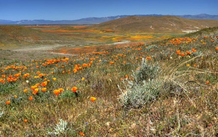 Antelope Valley Poppy Reserve in California31_exposure_resize