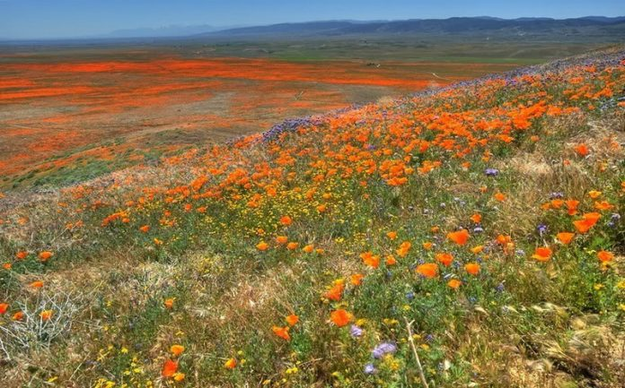 Antelope Valley Poppy Reserve in California9_exposure_resize