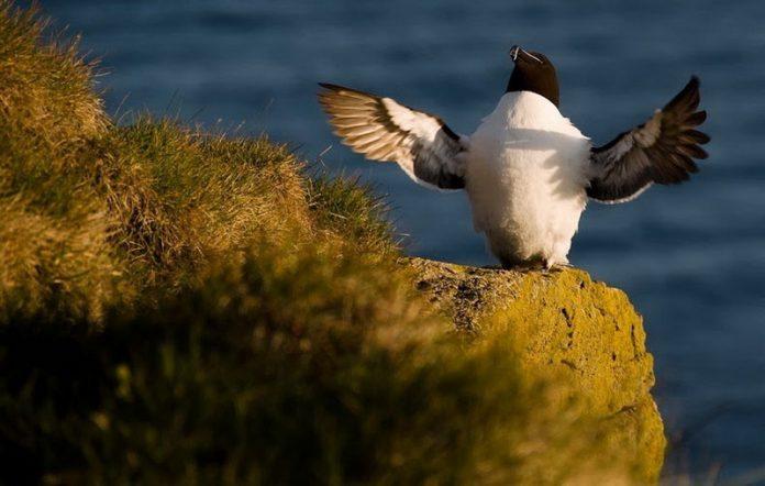 Bird Watching at Latrabjarg Cliffs, Iceland6_exposure_resize