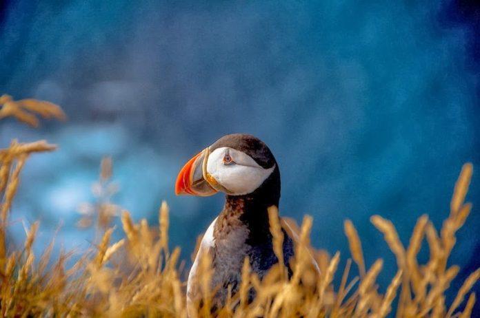 Bird Watching at Latrabjarg Cliffs, Iceland9_exposure_resize
