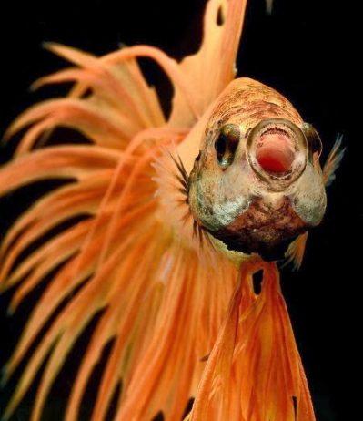 Dazzling Siamese Fighting Fish By Visarute Angkatavanich 4