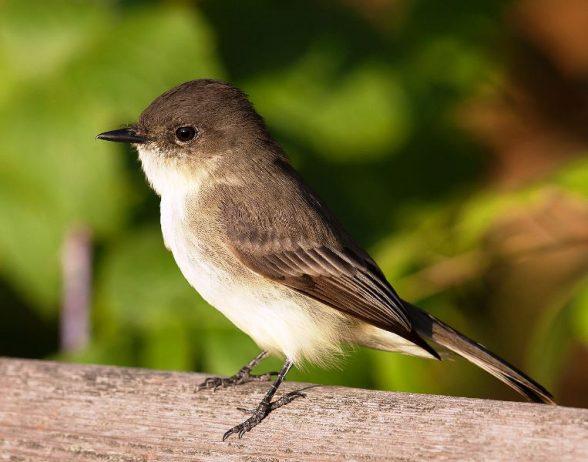 1280px-Sayornis_phoebe_-Owen_Conservation_Park,_Madison,_Wisconsin,_USA-8