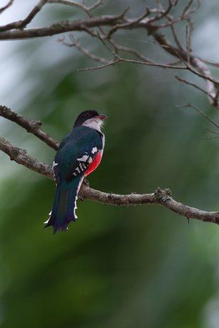 """Cuban Trogon"" World's Most Fascinating Bird- Charismatic ... - photo#25"