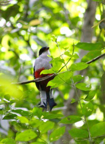 """Cuban Trogon"" World's Most Fascinating Bird- Charismatic ... - photo#4"