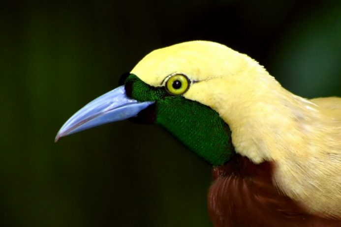 Birds of paradise0
