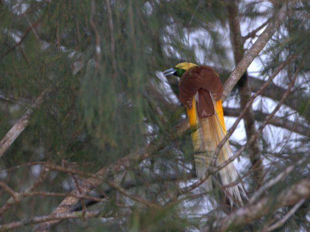 Birds of paradise17