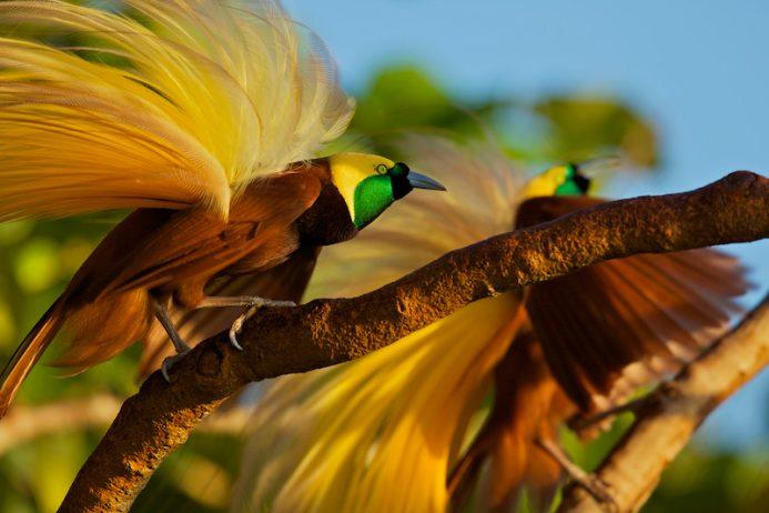 Birds of paradise2