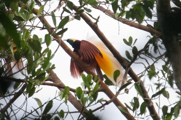 Birds of paradise35