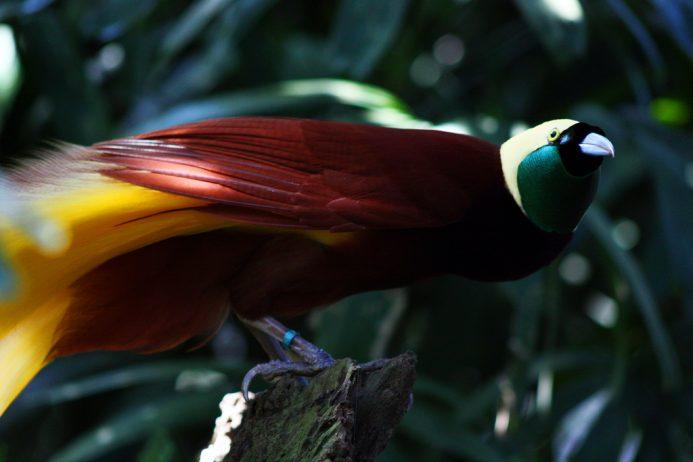 Birds of paradise74