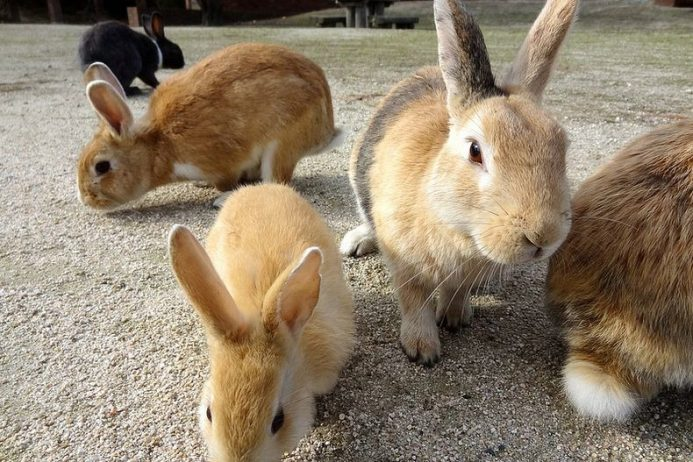 Rabbit Island Ōkunoshima Japan6