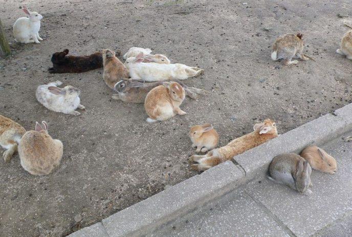 Rabbit Island Ōkunoshima Japan7