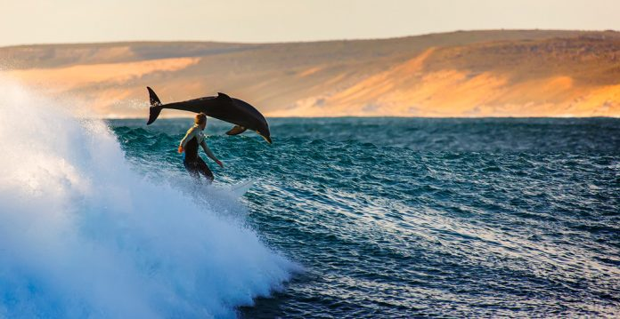 dolphin-and-surfer-riding-waves-by-matt-hutton-1