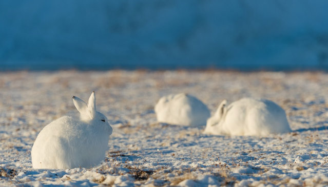 The arctic hare1