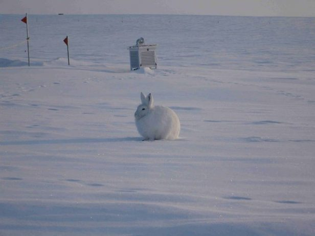 The arctic hare11