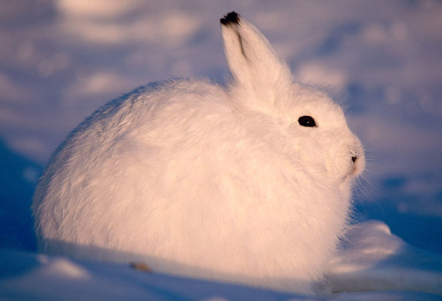 The arctic hare15