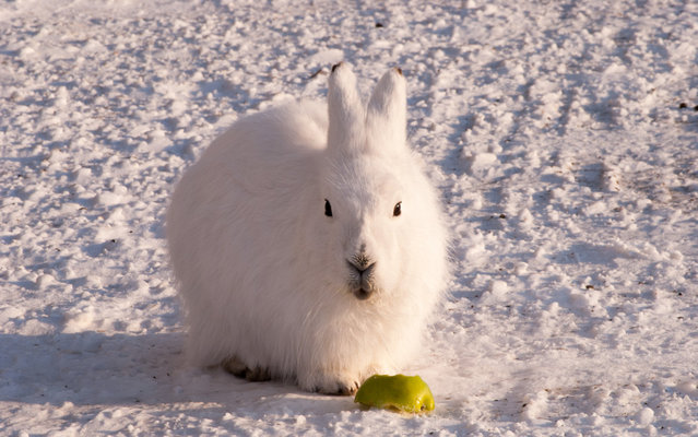 The arctic hare18