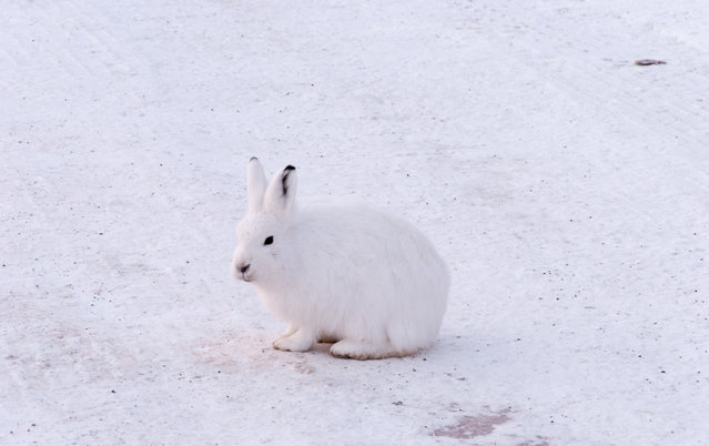 The arctic hare20