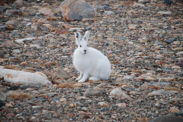 The arctic hare33