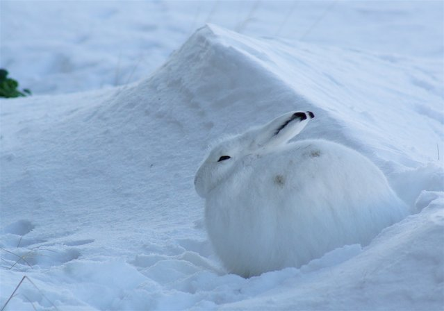 The arctic hare4