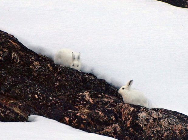 The arctic hare7