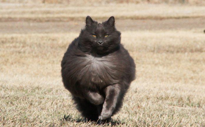 Sygmond The Grey Majestic Cat1
