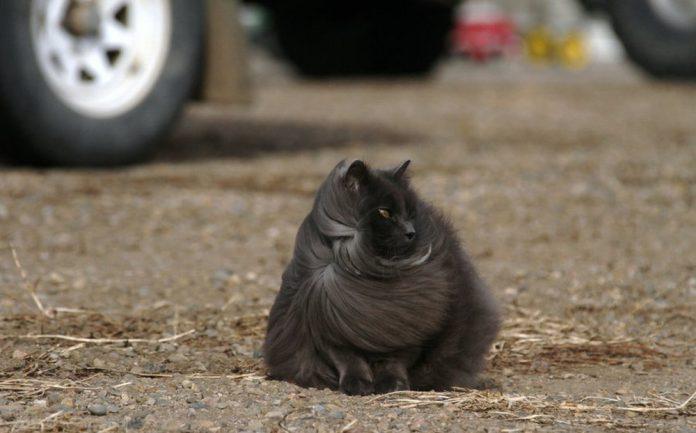 Sygmond The Grey Majestic Cat2