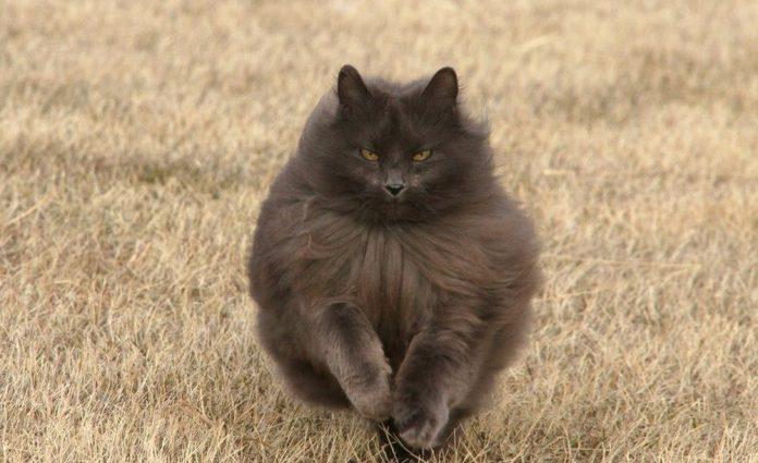 Sygmond The Grey Majestic Cat6